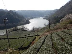 月ヶ瀬湖と茶畑